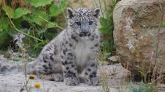 """The births were filmed by Twycross Zoo. Dr Charlotte McDonald, living collections curator, said: """"Very few people will ever have the opportunity to see snow leopards being born so the footage that we have been able to capture is unique."""""""