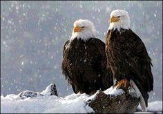 Eagles in Winter