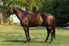 Furioso Horse, one of Hungary's oldest and main breeds - www.corbisimages.com
