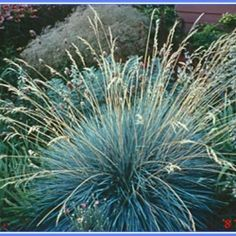 Helictotrichon sempervirens | Texture Plants