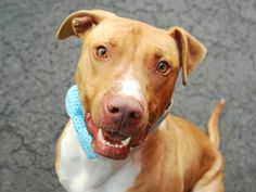 Manhattan Center JR – A1067350 NEUTERED MALE, TAN / WHITE, RHOD RIDGEBACK / AM PIT BULL TER, 1 yr, 4 mos OWNER SUR – EVALUATE, HOLD FOR ID Reason DESTRUCTIV Intake condition UNSPECIFIE Intake Date 03/11/2016, From NY 10037, DueOut Date 03/11/2016,