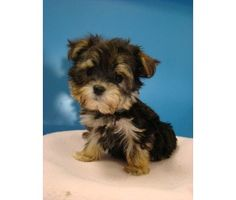 Morkie Puppies! (Maltese/Yorkie) ADORABLE is a Maltese Puppy in Santee CA