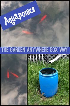 May 14, 2015 This is Aquaponics the Garden Anywhere Box way. People ask us if the way we garden is aquaponics or hydroponics. We tell them no...it's potting mix.   We do have some goldfish living in a barrel. The barrel is attached to our watering system and to our boxes. That's about as close as we get to Aquaponics. Fish poo...;)