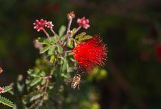 Bee with fairy duster bottle brush flower
