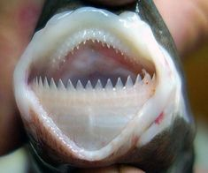 The Smalltooth Cookiecutter Shark gets its name from the unusual way it feeds.  Its impressive teeth are used to carve out a cookie of muscle from its prey, which includes larger fishes and mammals (including humans). Despite its taste for large prey, the species only grows to about 50 cm in length.