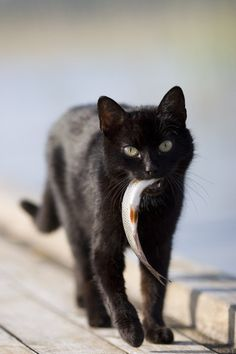 Black cat with white fish