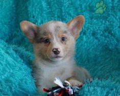 #WelshCorgi #Pembroke #Charming #PinterestPuppies #PuppiesOfPinterest #Puppy #Puppies #Pups #Pup #Funloving #Sweet #PuppyLove #Cute #Cuddly #Adorable #ForTheLoveOfADog #MansBestFriend #Animals #Dog #Pet #Pets #ChildrenFriendly #PuppyandChildren #ChildandPuppy #BuckeyePuppies www.BuckeyePuppies.com Welsh Corgi Puppies, Pembroke Welsh Corgi, Puppies For Sale, Cute Puppies, Mans Best Friend, Puppy Love, Handsome, Pets, Animals