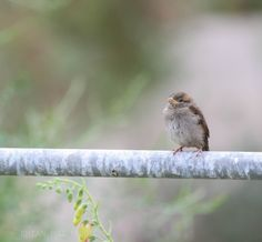 I took this photograph of juvenile sparrow at the botanical gardens in wales www.facebook.com/rhianmaiphotography