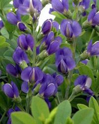False Indigo - Blue Indigo  Mature Height  3-4 feet  Mature Spread  3-4 feet  Soil Type  Widely Adaptable  Moisture  Moderate, Dry, Well Drained  Mature Form  Upright, Bushy  Growth Rate  Moderate  Sun Exposure  Full Sun to Partial Shade  Flower Color  Indigo Blue  Bloom Period  Late Spring to Early Summer  Foliage Color  Blue Green  Zones  3-9  From Nature Hills Nursery
