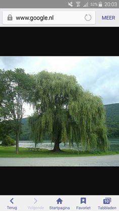 Mijn gezicht is half boom en het haar worden de takken van de treurwilg dus deze boom is mijn inspiratie geweest voor mijn haar.
