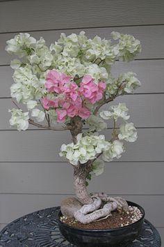 bonsai bäume mini baum exotisch