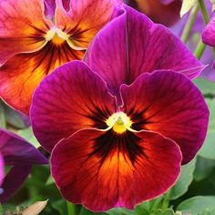 Fuschia Pansy ~~Purple Fuschia Pansy by LaVeta Jude~~~~Purple Fuschia Pansy by LaVeta Jude~~ Fleur Pansy, Flower Pictures, Pretty Flowers, Exotic Flowers, Purple Flowers, Pansies, Flower Art, Pansy Flower, Cactus Flower