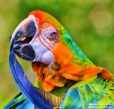 Camelot Hybrid Macaw