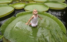 The Victoria Water Lily is native to the Amazon river basin and can hold up 70 pound of weight