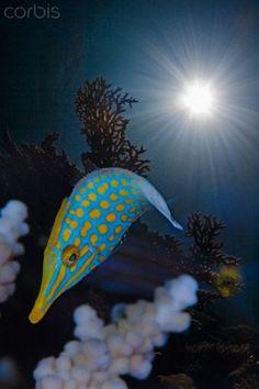 Orange Spotted Filefish