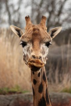 """""""Come on, gimme a Kiss! You know you want to!"""" ~ Cheeky giraffe!!! <3 What would you say to this giraffe? <3 <3 <3"""