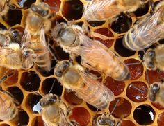 Basic Beekeeping: LESSON 75: The Dreaded Laying Worker