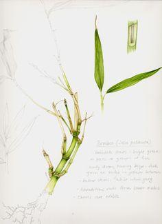 Lizzie Harper botanical illustration sketchbook illlustration of a bamboo