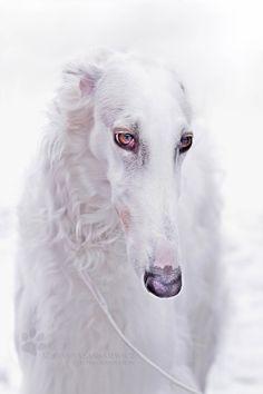 Borzoi ~ Russian Wolfhound