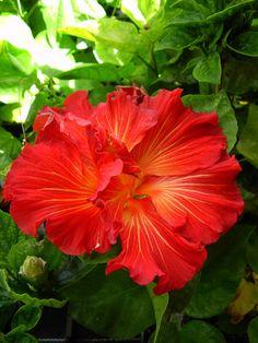 Tahitian Hibiscus 'Meteor'