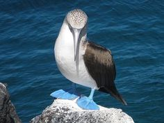 We saw these Blue-Footed Booby (real name!) birds in the Galapagos Islands during our 2006 pilgrimage. The islands are every bit as weird and wonderful as you can imagine.