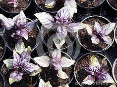Purple Basils (Ocimum basiicum) growing in plant nursery
