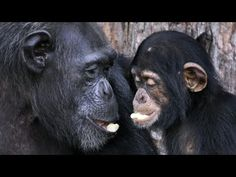 """GREAT NEWS AT LONG LAST! : (05/30/17) The HSUS and New York Blood Center announce landmark agreement for care of Liberian chimpanzees · Watch and read more on """"A Humane Nation"""" blog post....."""