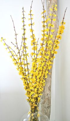 Forsythia! What I love about Forsythia is that they can be super tall and work great in any room. Maybe at altar around an arch
