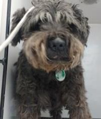 Animal ID 35848547 Species Dog Breed Schnauzer, Standard/Mix Age 3 years 2 days Gender Male Size Medium Color Black/Grey Site Department of Animal Services, City of El Paso Location Sally Port Intake Date 7/6/2017