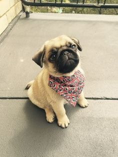 hand crafted pug accessories and pug jewelery available at ! Show your pug puppy how much you love them by wearing our merchandise! Cute Pug Puppies, Cute Dogs, Dogs And Puppies, Doggies, Cute Baby Pugs, Bulldog Puppies, Cute Baby Animals, Funny Animals, Animals Dog