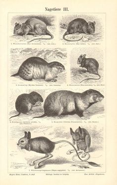1896 Rodents Brown Rat Norway Lemming House Mouse Common