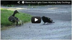 Mama Duck fights Crows attacking Baby Ducklings! Watch here: http://gdurl.tk/Ad