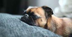 Quando i cani non resistono al sonno: ecco le pose più strane - Repubblica.it Mobile