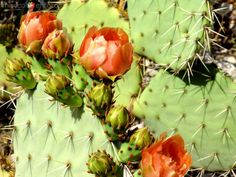 close up nopal 2
