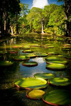 Le jardin de Pamplemousse in Mauritius Places Around The World, The Places Youll Go, Places To Go, Around The Worlds, Beautiful Islands, Beautiful World, Beautiful Places, Mauritius Island, Mauritius Travel