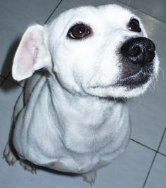 White Jack Russell Terrier :3