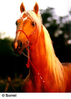 """Palomino American Saddlebred........reminds me so much of a horse I had in high school named Megan's Fancy.  (""""Meg"""")."""