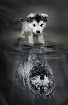 A little pup thinks that he is more then he really is a wolf, a alpha, a leader. - A little pup thinks that he is more then he really is a wolf, a alpha, a leader. Cute Baby Animals, Animals And Pets, Funny Animals, Cute Animals Puppies, Small Animals, Beautiful Creatures, Animals Beautiful, Pretty Animals, Beautiful Wolves