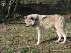 An Ecomuseam Zoo?  An Example To Follow or A Waste of Time? Wolves, Animals Beautiful, Husky, Dogs, Cutest Animals, Wolf, Pet Dogs, Doggies, Husky Dog