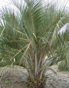 Trade Winds Fruit - Butia capitata - Jelly Palm, $2.00 (http://www.tradewindsfruit.com/butia-capitata-jelly-palm-seeds)
