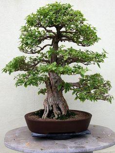 Foto do bonsai Bougainvellea, esta espécie é muito cultivada em forma de bonsai por produzir um efeito muito bonito com suas numerosas flores miniaturas durante a época de floração.