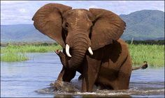 A curious elephant in the water--Chobe National Park, Botswana Wild Elephant, Elephant Love, African Elephant, African Safari, Chobe National Park, National Parks, Wild Life, Elephant Photography, Elephants Photos