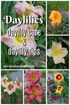 Daylilies are easy perennials flowers to grow and maintain, and a must have flower for your garden or landscape. Tips for Growing Daylilies, including Daylily Care and Maintenance Garden Care, Gardening For Beginners, Gardening Tips, Organic Gardening, Container Gardening, Growing Flowers, Planting Flowers, Flower Gardening, Day Lilies Care