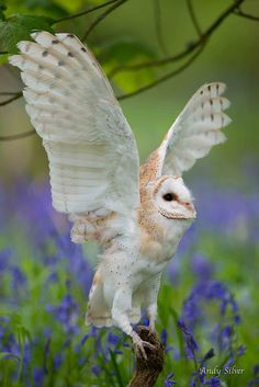 A beautiful Barn Owl. Photo by Andy Silver. Beautiful Owl, Animals Beautiful, Cute Animals, Pretty Birds, Love Birds, Owl Pictures, Owl Bird, Tier Fotos, Mundo Animal