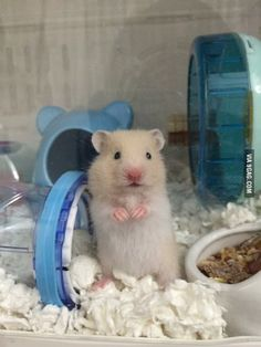 Meet Moonmoon my new pet. I can't afford a dog but he is enough - Hamsters Hamster Pics, Baby Hamster, Hamster Care, Pretty Animals, Cute Little Animals, Cute Funny Animals, Animals Beautiful, Hamsters As Pets, Funny Hamsters