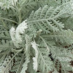 year round availability Dusty Miller Green Filler Flower 100 stems for 130 = 10 bunches Aqua Wedding Flowers, Fall Wedding Colors, White Flowers, Floral Wedding, Rose Wedding, Wedding Stuff, Dream Wedding, Protea Flower, Dahlia Flower