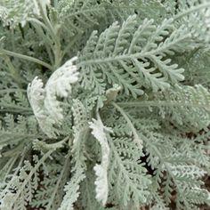 Dusty miller green filler flower