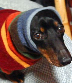 This is the face my dachshund gives me when I try to put him in clothes. Besides one hand-me-down jacket, he HATES clothes.