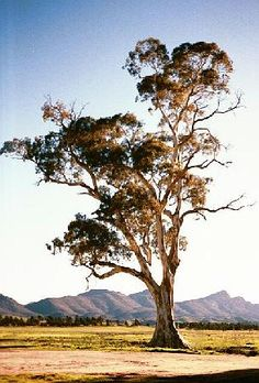 Again the tree idea - Eucalyptus trees are very much part of our country landscape here in Australia and very prominent in the style of weddings we shoot. Australian Plants, Australian Painting, Lone Tree, Vides, Thinking Day, Tree Forest, Native Plants, Tree Art, Paintings