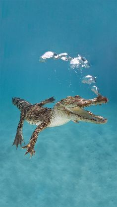 Immature saltwater crocodile swimming underwater, exhaling - View amazing Saltwater crocodile photos - Crocodylus porosus - on Arkive Under The Water, Under The Sea, Reptiles And Amphibians, Mammals, Crocodile Marin, Crocodile Rock, Beautiful Creatures, Animals Beautiful, Animal Kingdom